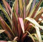 A flax bush